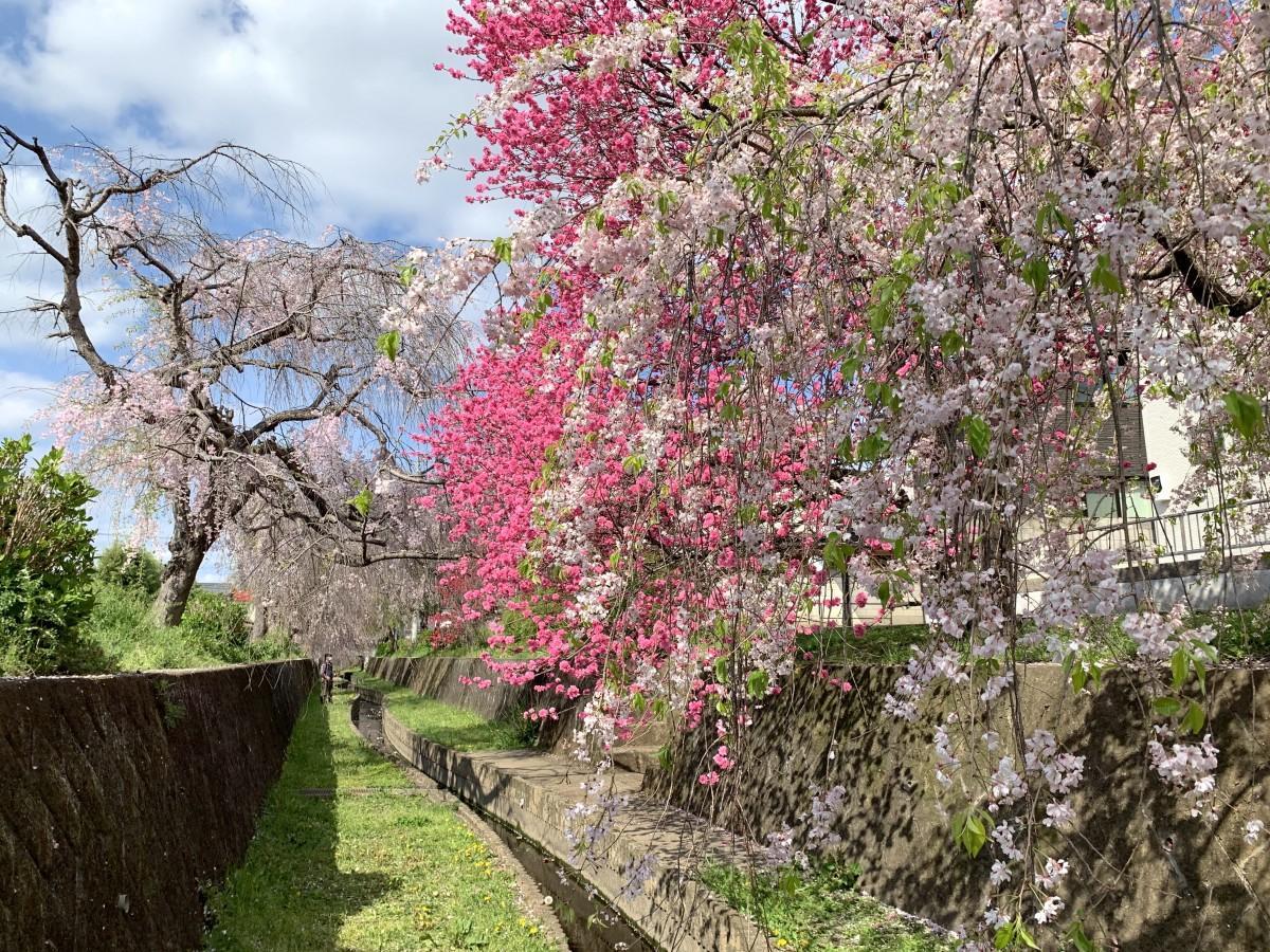 散り始めた「しだれ桜」と見頃の「モモ」が並ぶ(4月6日撮影)