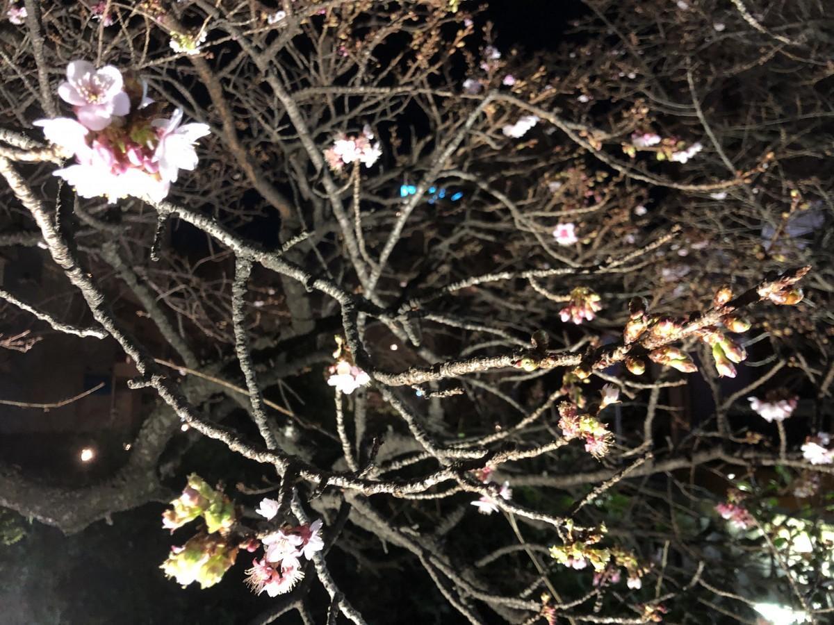 徐々に開花が進む糸川沿い「あたみ桜」のライトアップ