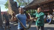 バリ島の寺院に4メートルの大蛇