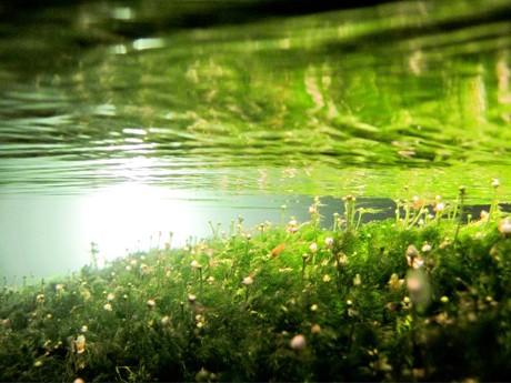 水中から撮影した梅花藻ライトアップ(写真提供=石黒晋)