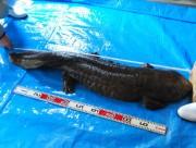 琵琶湖博物館でオオサンショウウオの身体測定-現時点で日本一
