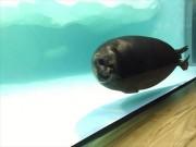 琵琶湖博物館がリニューアル 淡水にすむバイカルアザラシを関西初展示