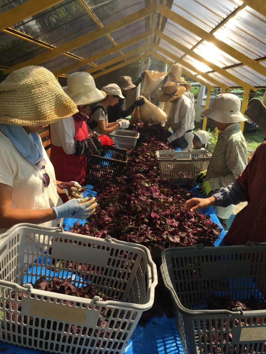 比良里山クラブの赤シソ収穫体験