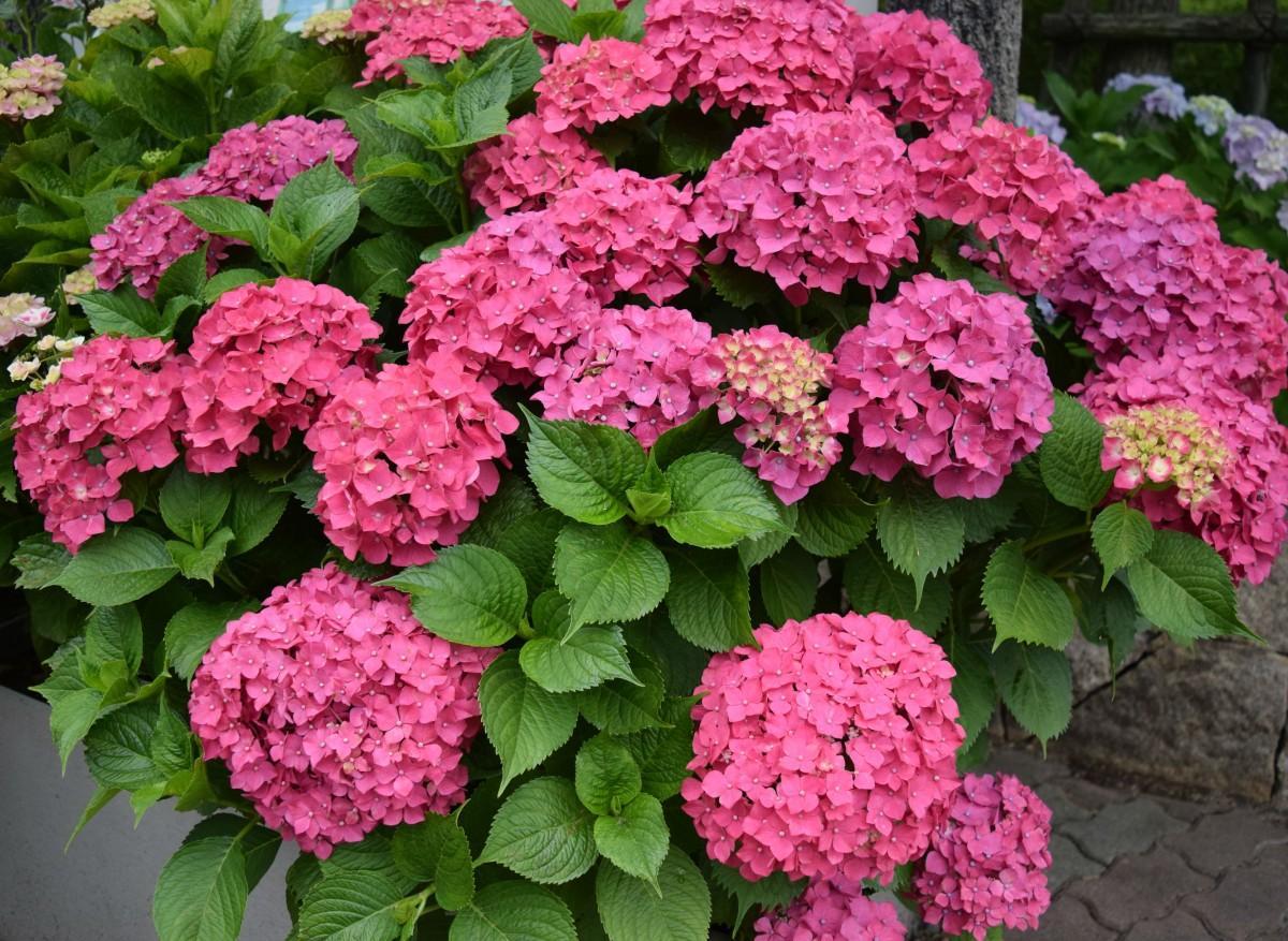 色鮮やかに咲くアジサイ