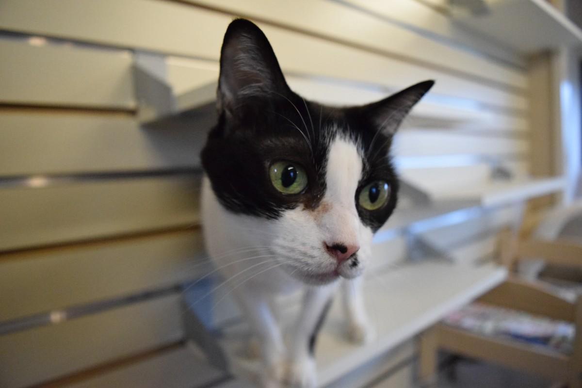保護猫で、現在はベイカリーカフェ「ねこ日和」で暮らすキュウちゃん