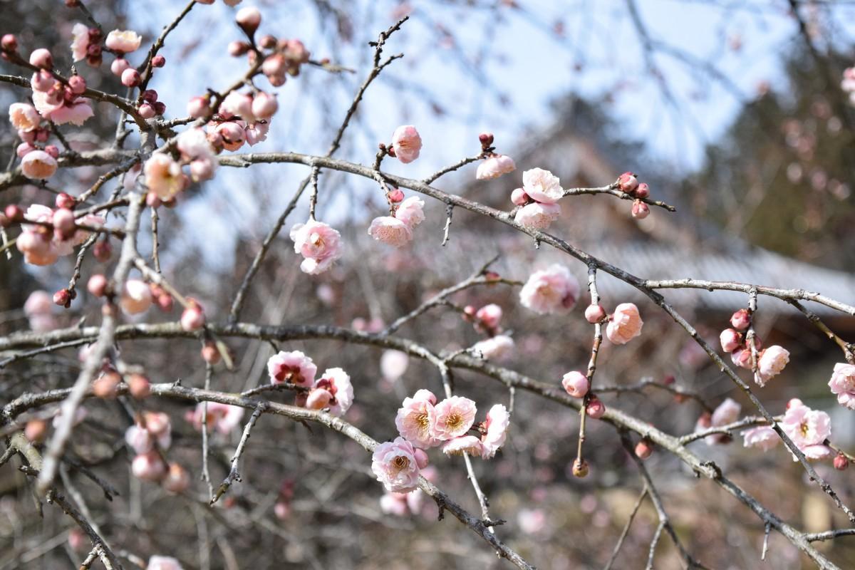 見頃を迎えた梅の花
