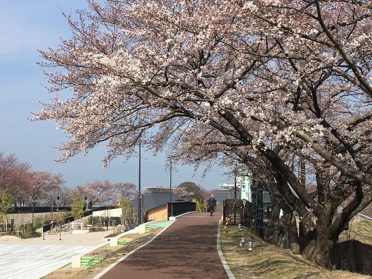 草津川跡地公園の桜