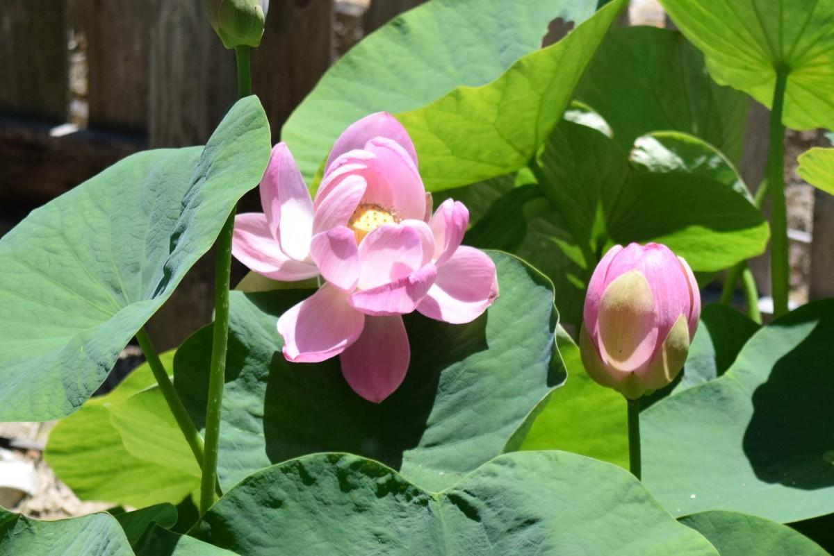 今年も開花した「大賀ハス」