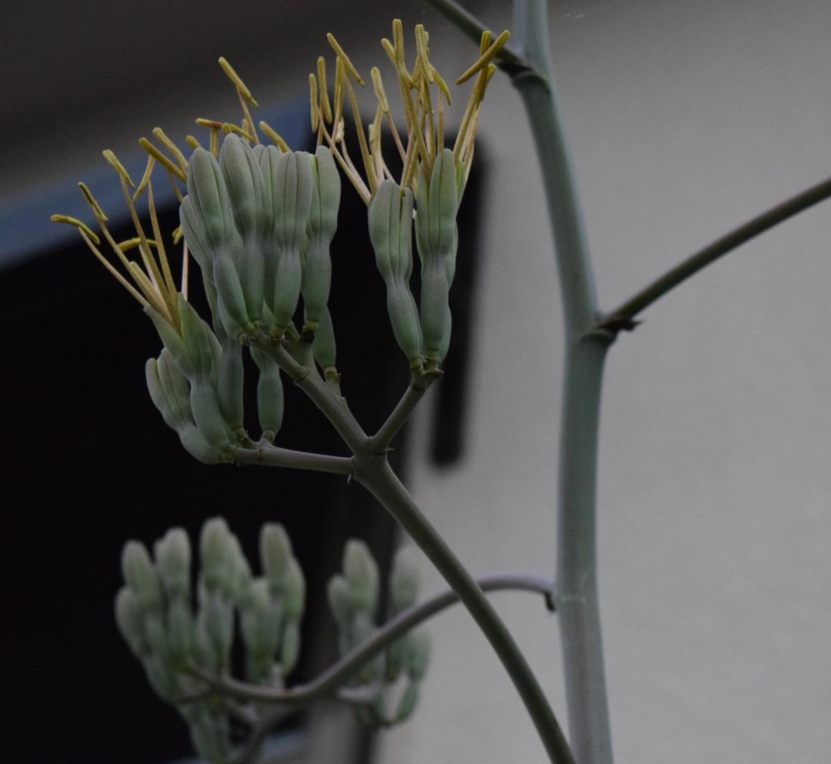 アガベ・マクロアカンサの花