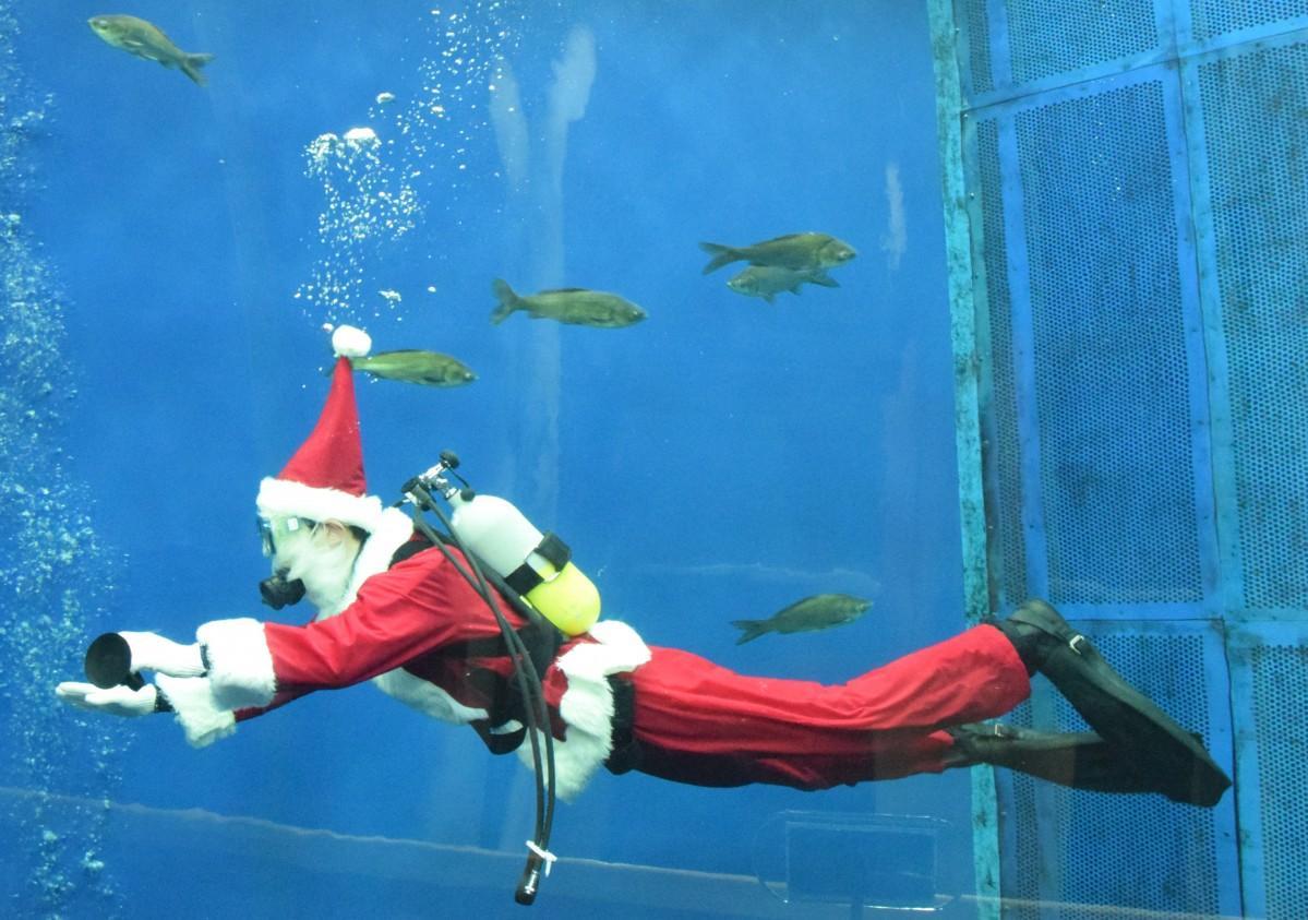 琵琶湖に生息する魚と一緒に泳ぐサンタクロース