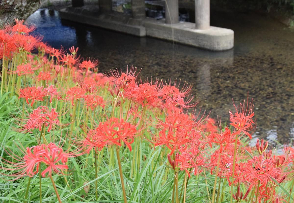 真野川沿いに咲く彼岸花