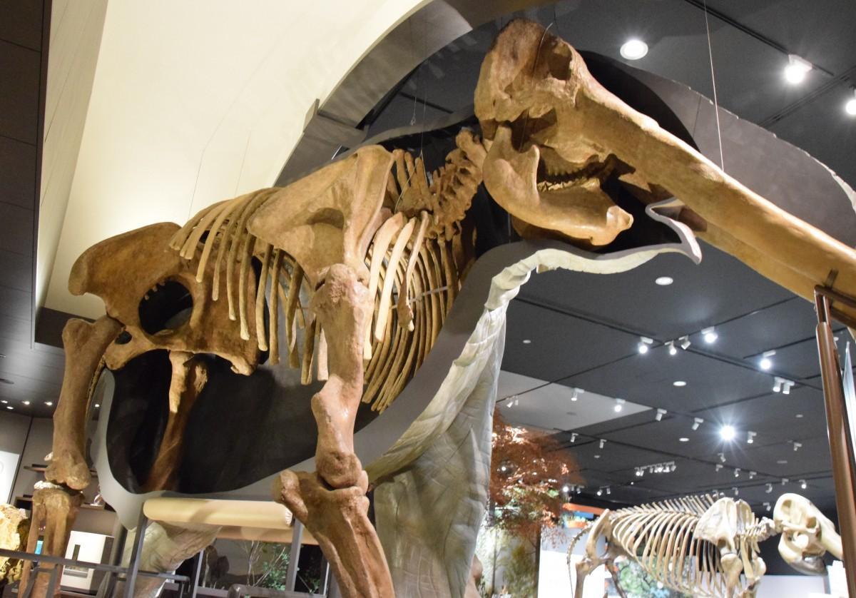 ツダンスキーゾウの半身半骨標本