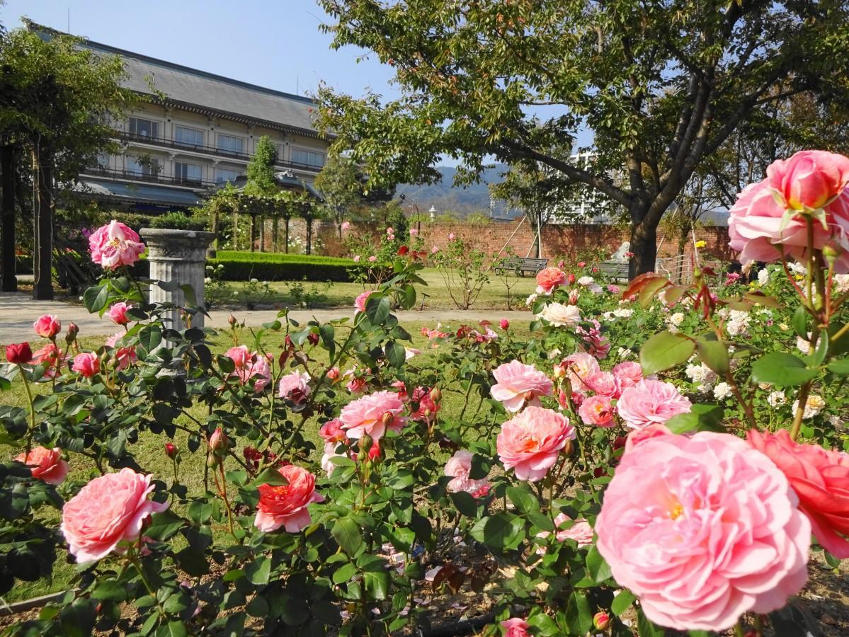 イングリッシュガーデンの秋のバラが訪れる人の目を楽しませる