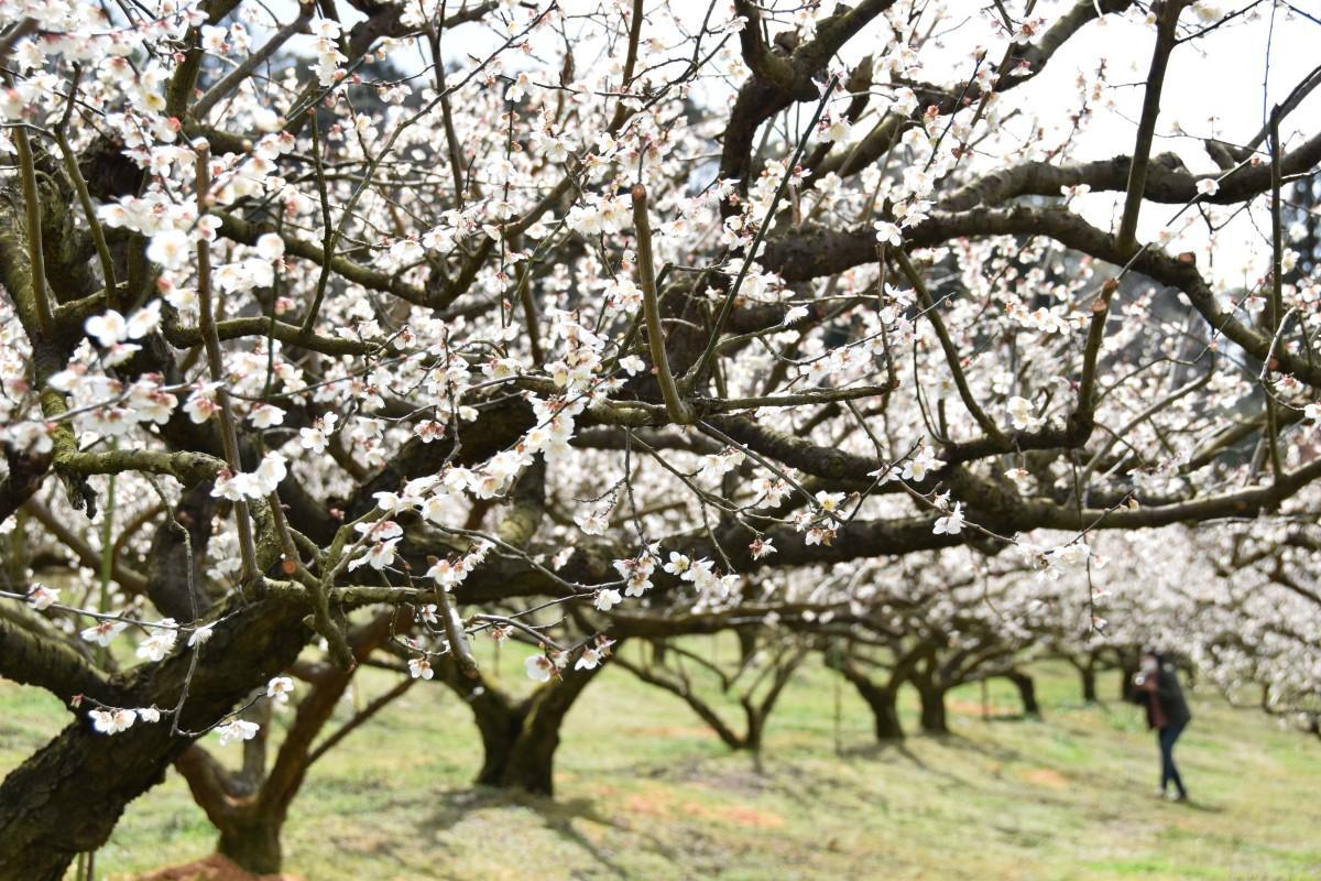 見頃を迎えた梅の花のトンネル