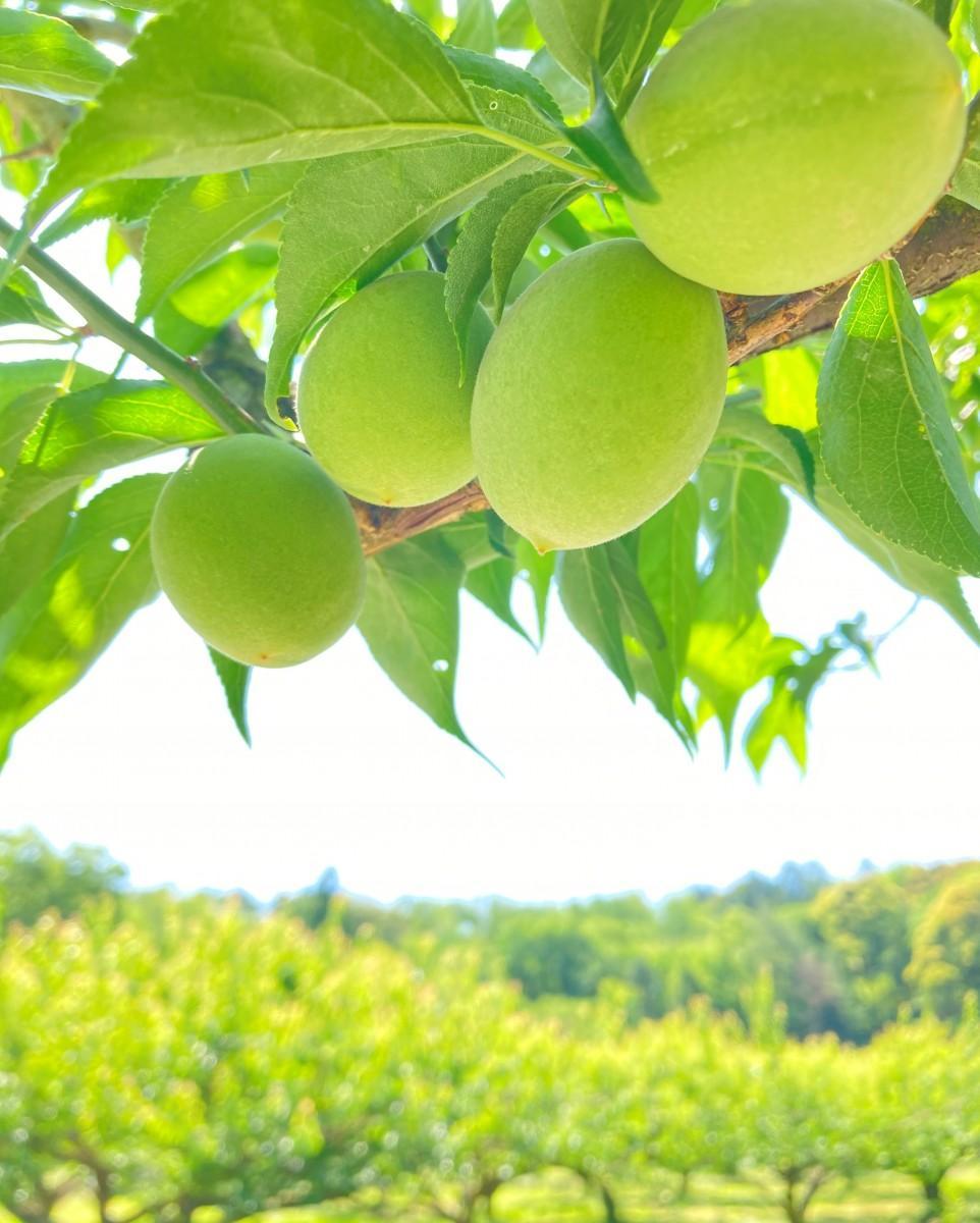 たわわに実る「城州白」果肉が熱く芳醇な香りが特徴