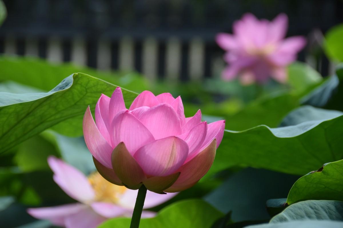 弥生の森歴史公園で開花した2000年以上前の古代ハス「大賀ハス」