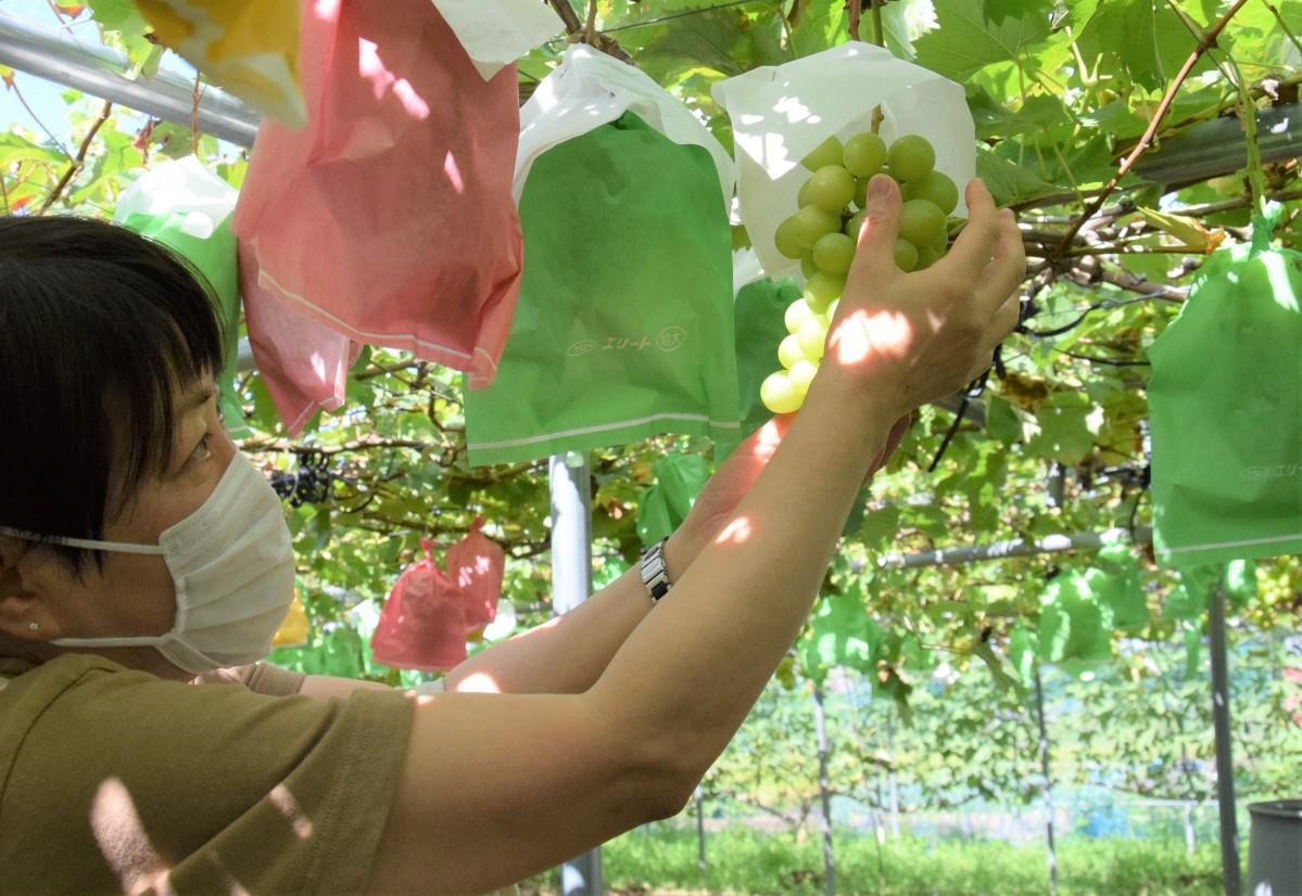 大きく実ったシャインマスカットを収穫する客