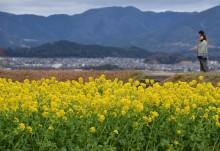 守山市琵琶湖岸の菜の花が見頃 「比良の暮雪」は見られず