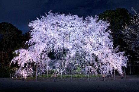 ライトアップされた「しだれ桜」