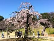 小石川後楽園で「しだれ桜」が見頃に 開花に合わせ開園時間も延長