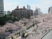 文京・播磨坂で「文京さくらまつり」 週末は桜並木を歩行者天国に