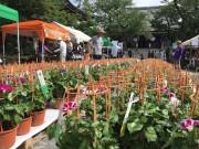 「文京朝顔ほおずき市」始まる  変化アサガオの展示も