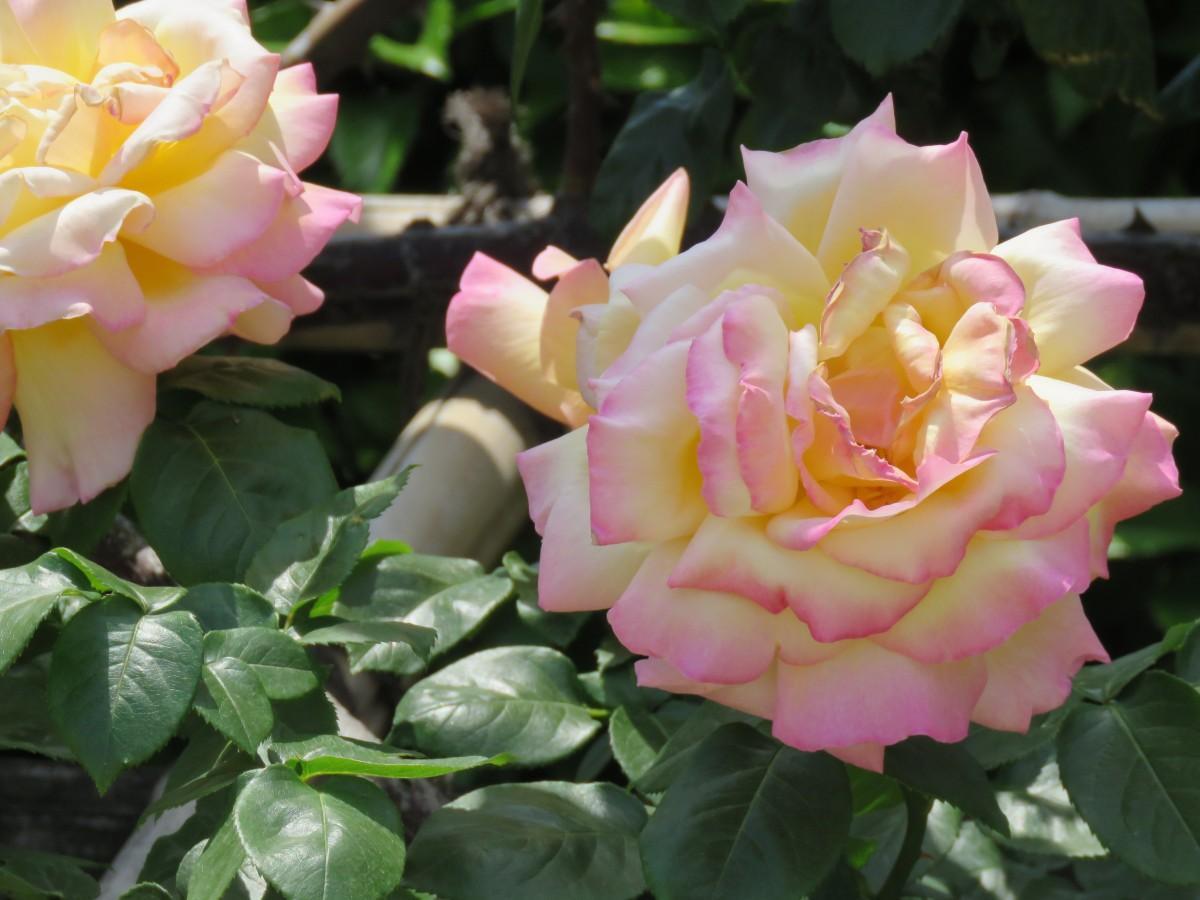本郷給水所公苑のバラ。「ピース」という名前の付けられた品種(2019年5月11日撮影)