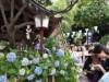 白山神社で恒例「文京あじさいまつり」 アジサイ3千株見頃に