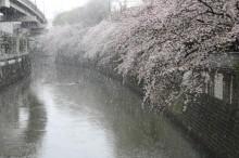 文京・神田川沿いの桜並木に降雪