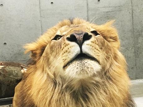 千葉市動物公園でバレンタインイベント 鼻の穴がハート形のライオンと撮影