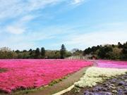 千葉・農業交流センターで12万株のシバザクラが開花 見頃に合わせイベントも