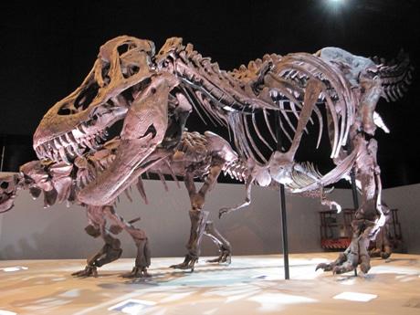 ティラノサウルス(愛称=ワイレックス)の全身復元骨格 (ヒューストン自然科学博物館での展示風景)