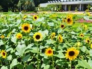 千葉・花の美術館で小ぶりなヒマワリ見頃迎える 八重咲きや茶色の花も