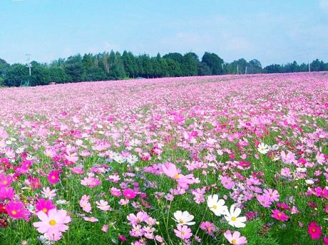 花とみどりの里「とみた」のコスモス