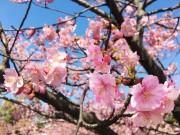 稲毛海岸で一足早く感じられる春 青空に映える「河津桜」が見頃