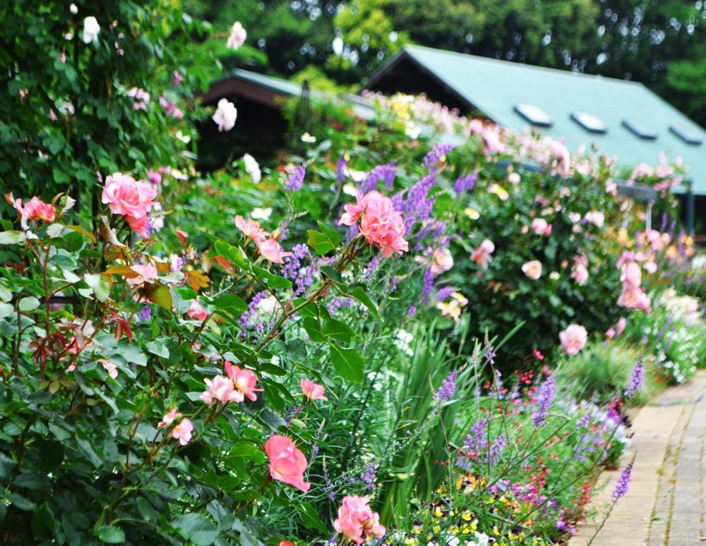 宿根草と併せて植栽されたローズガーデン