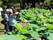 千葉公園で「大賀ハスまつり」 光のアートとライブで演出、初の夜の鑑賞会も