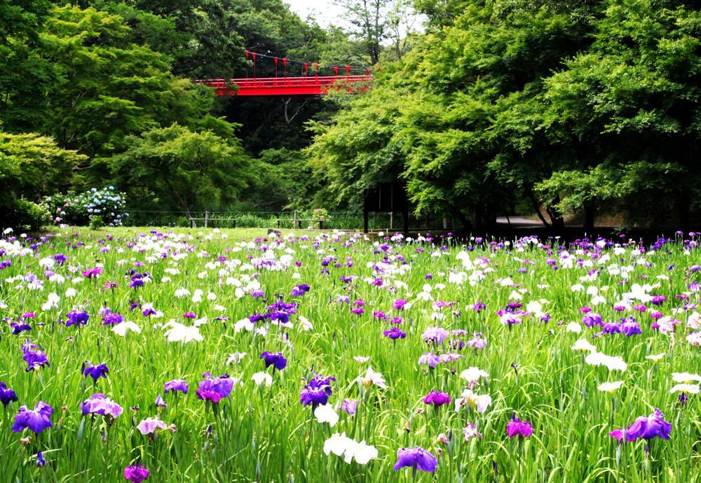 菖蒲田で咲き誇るハナショウブ(6月5日の様子)