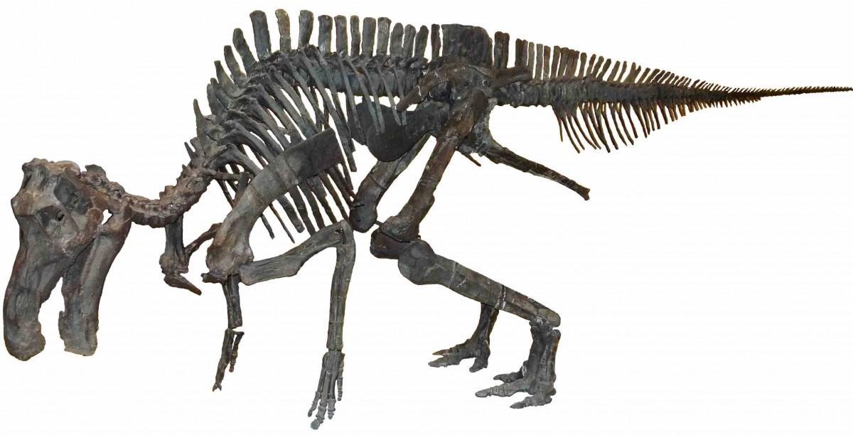 体長6.5メートルのマイアサウラの実物全身骨格(実物、一部レプリカ、所蔵:国立科学博物館)