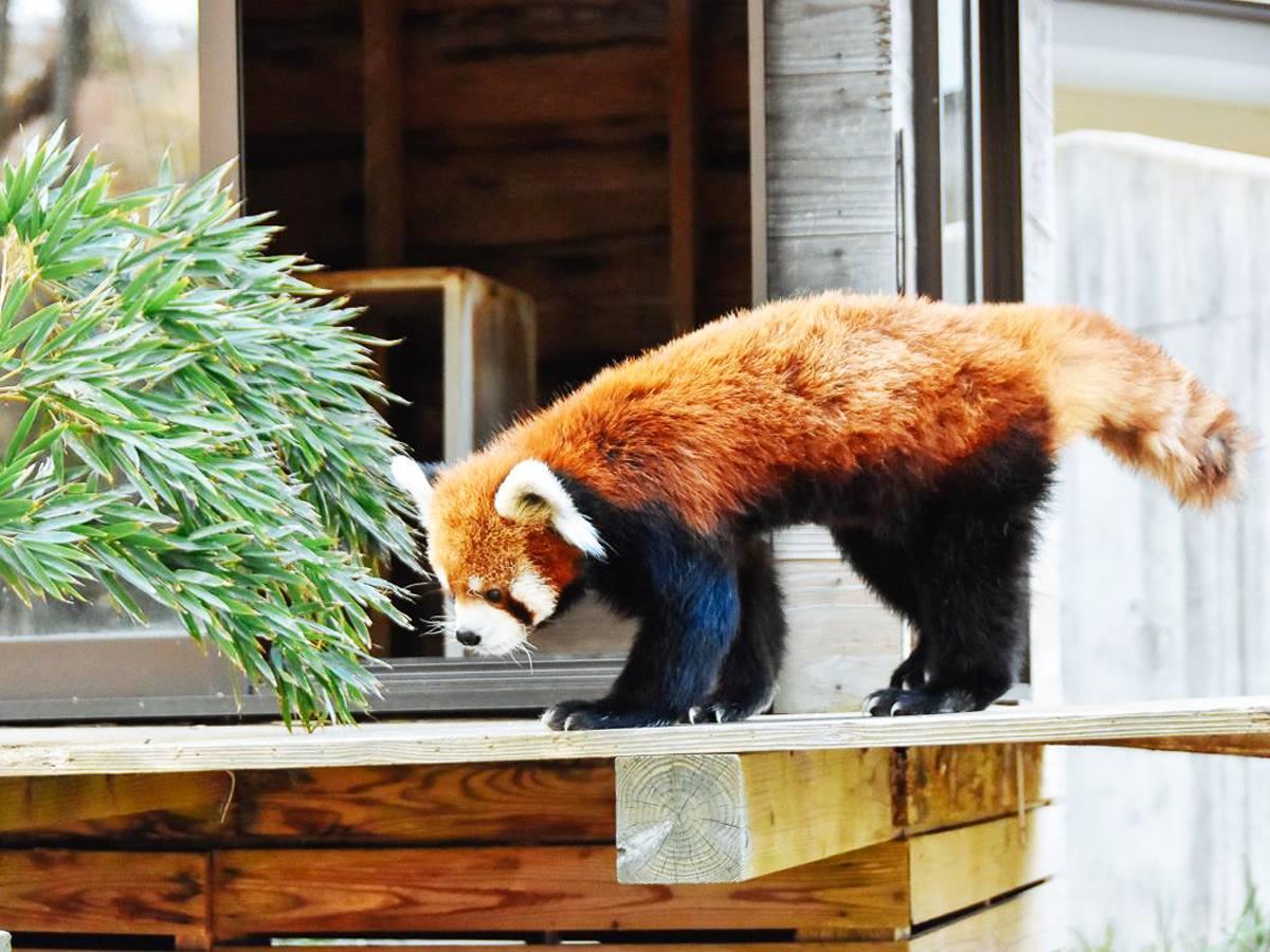 千葉市動物公園のレッサーパンダ「風太くん」