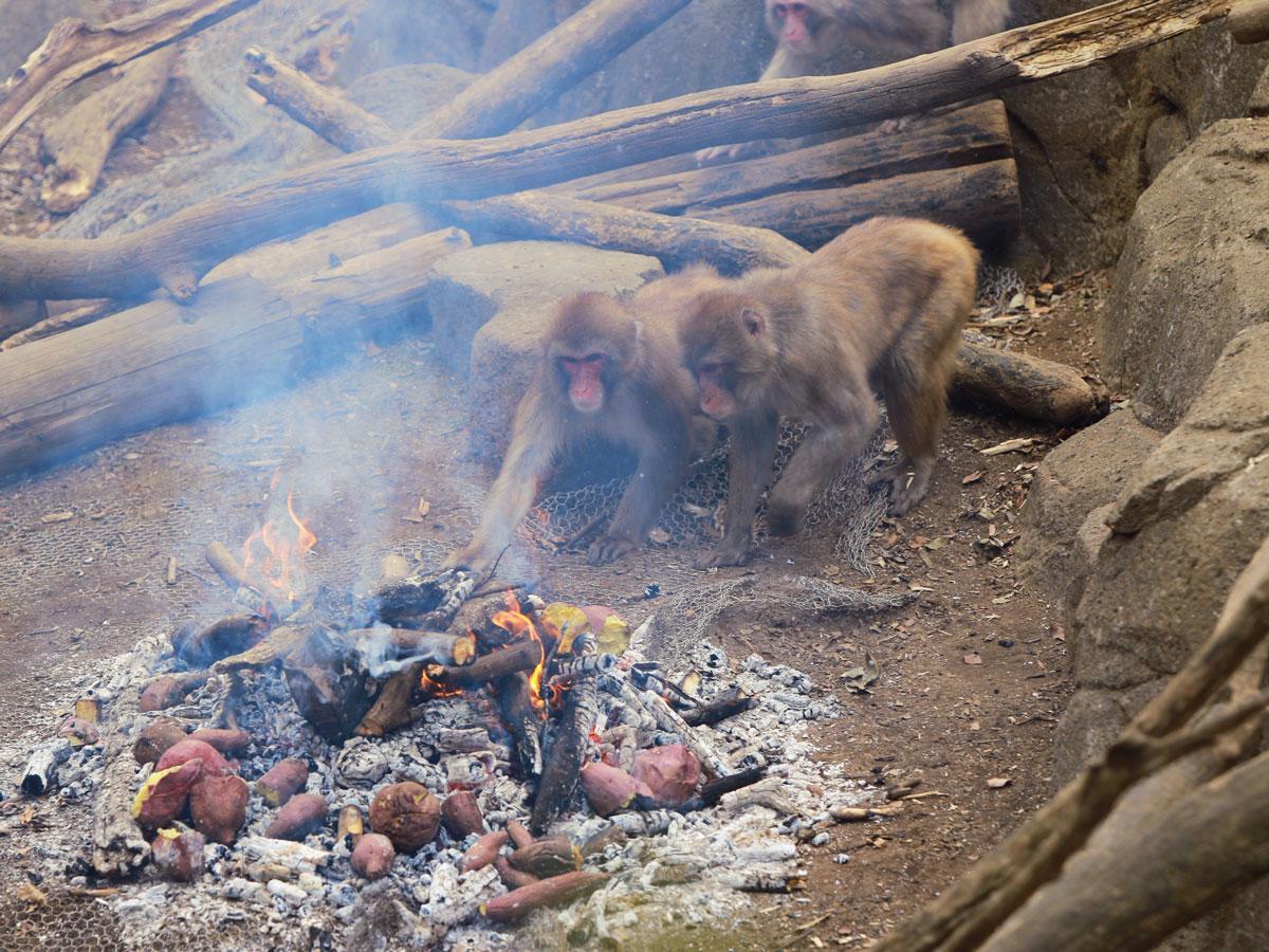 興味津々でたき火と焼き芋に近づくサル(昨年の様子)