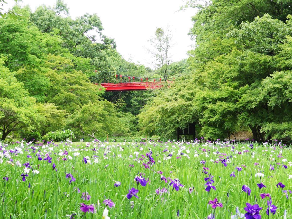 菖蒲田で開花したハナショウブ(6月11日の様子)