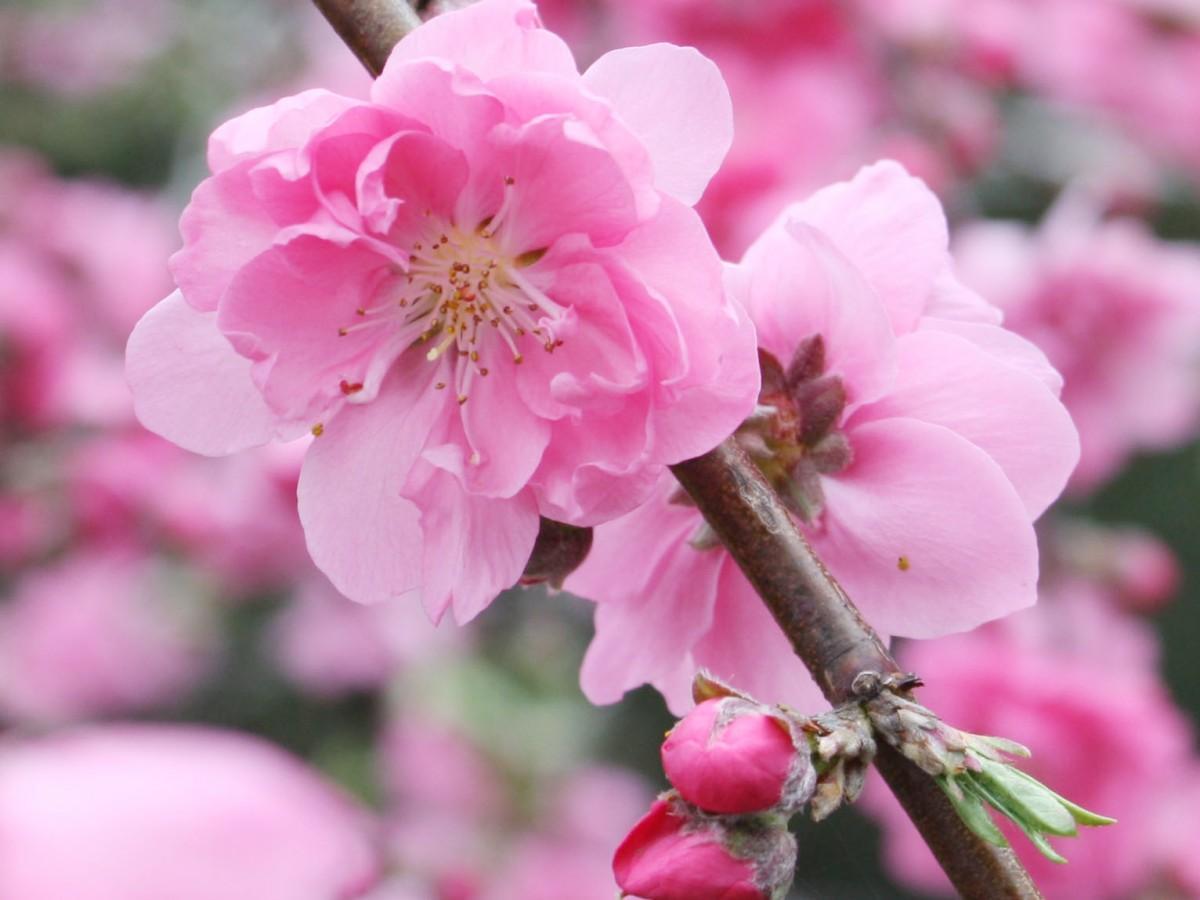 モモの花とつぼみ(写真提供=千葉県立中央博物館)