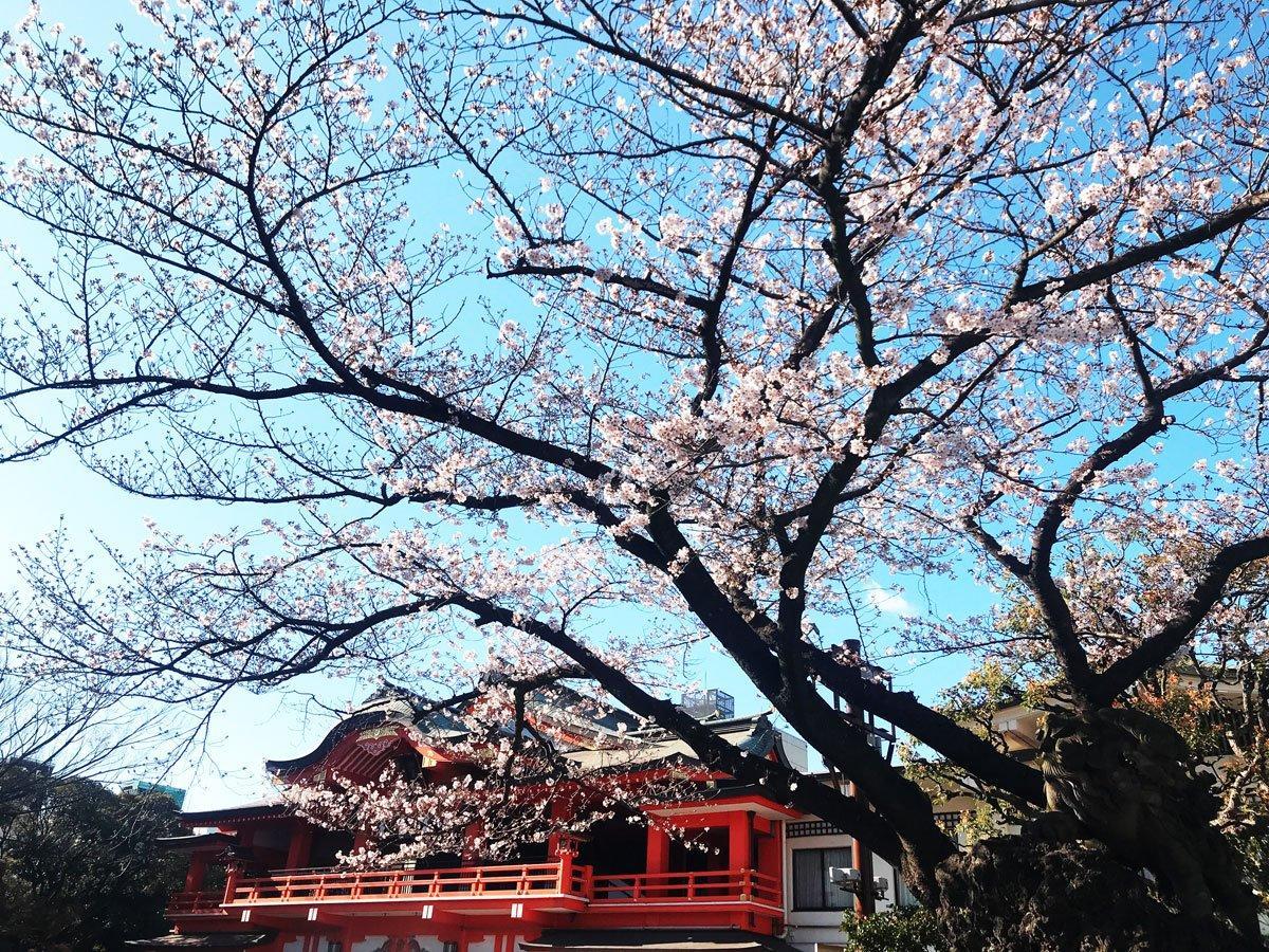 千葉神社の桜(3月24日撮影)
