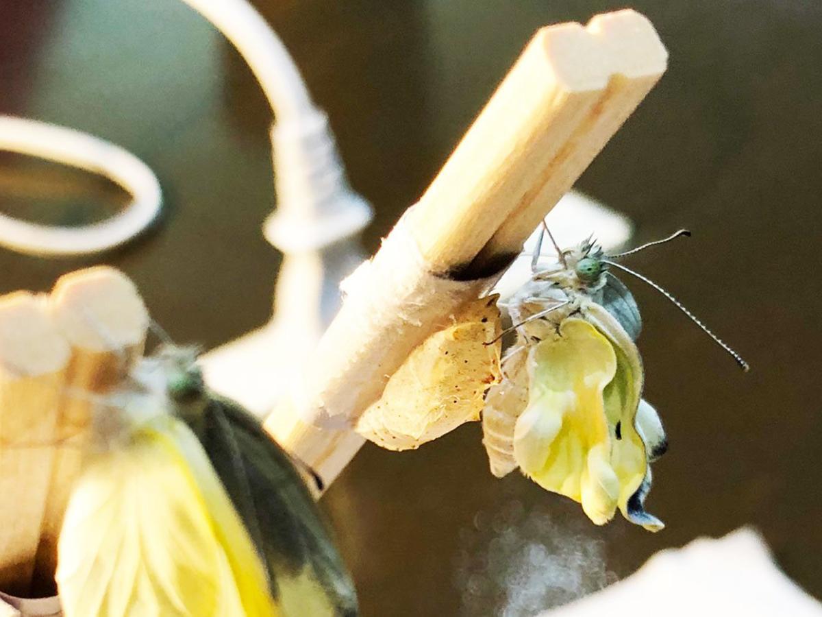 羽化したモンシロチョウ