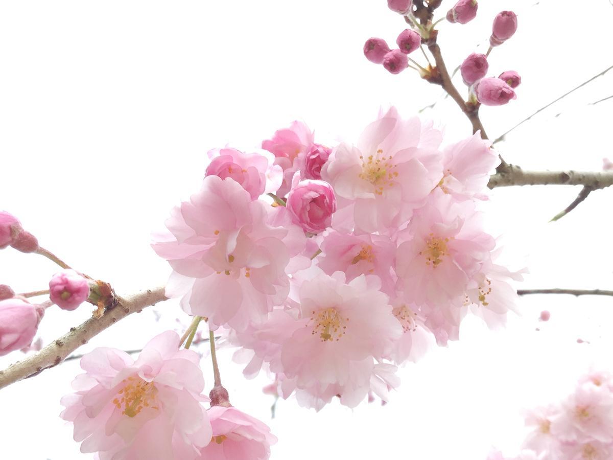 お花見広場の八重紅枝垂れ桜(2019年4月職員撮影)