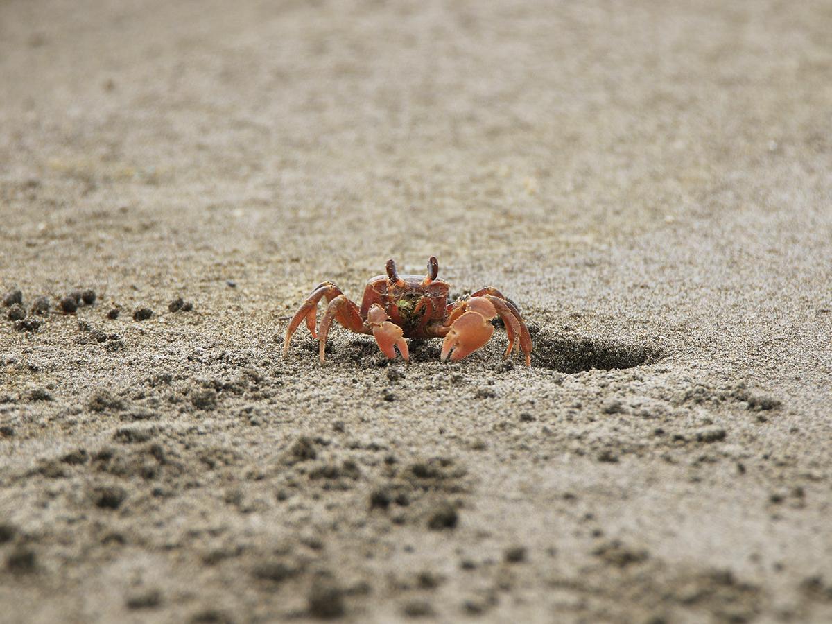真亀海岸の「スナガニ」