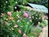 千葉・フラワーミュージアムでバラが見頃 ガーデンツアーも