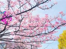 稲毛海岸に春の訪れ 河津桜・菜の花が見頃迎える