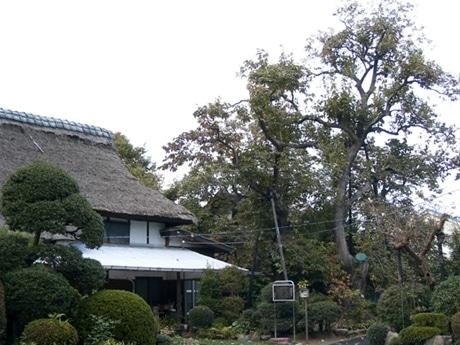 かやぶき屋根より高く成長した「禅寺丸」の古木。かつての武蔵野の農村風景を伝えている。